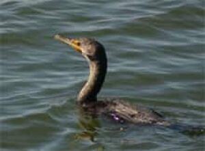 sk-cormorant070124-220