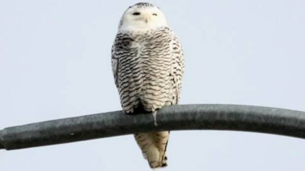 A CBC file photo of a juvenile snowy owl, perched on a lamp post.