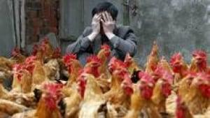 si-h7n9-bird-flu-chickens-2