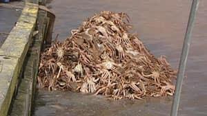 nl-dumped-crab-20130415