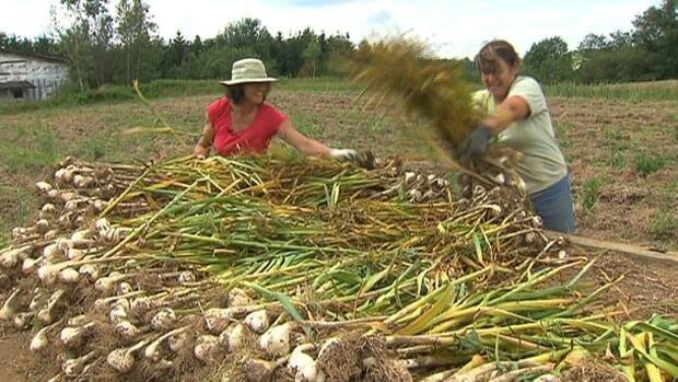 Christiane Massé (left) harvests garlic that thieves didn't steal from her farm in St-Malo, Que.