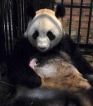si-baby-panda-220-rtr34n8p