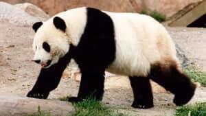 mi-300-panda-rebecca