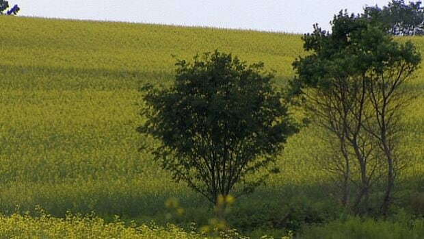 Farmers are looking for canola varieties that they can harvest earlier