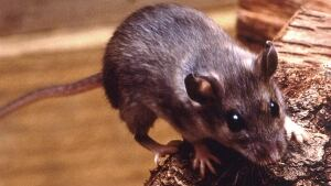 hi-hantavirus-deer-mouse-85
