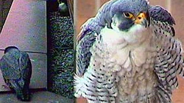 Hamilton Falconwatch has two cameras watching Surge and Madame X high atop the Hamilton Sheraton as they prepare to lay eggs.