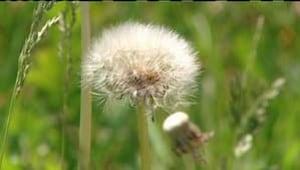 pe-hi-dandelion-seed-4col