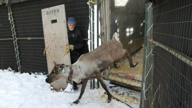 A caribou exits a truck into the temporary holding pen prior to its release into the Purcell Mountains
