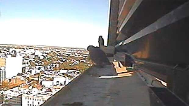 Falcon chicks gaze out over the city in this screen grab from the CBC live cam atop the Radisson Hotel.