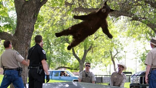 The bear, which became a bit of celebrity on the University of Colorado campus, fell 4.5 metres after wildlife officials tranquilized it.