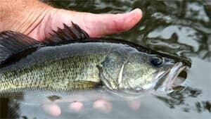 sm-300-largemouth-bass-istock