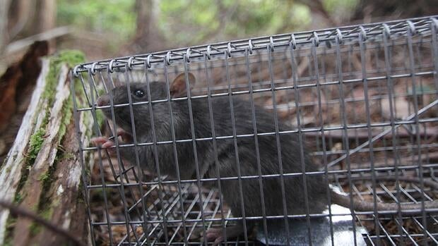 A trapped rat on Haida Gwaii. Parks Canada wants to eradicate its species completely from the islands that form the Gwaii Haanas National Park Reserve.
