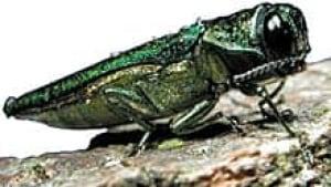 wdr-220-emerald-ash-borer