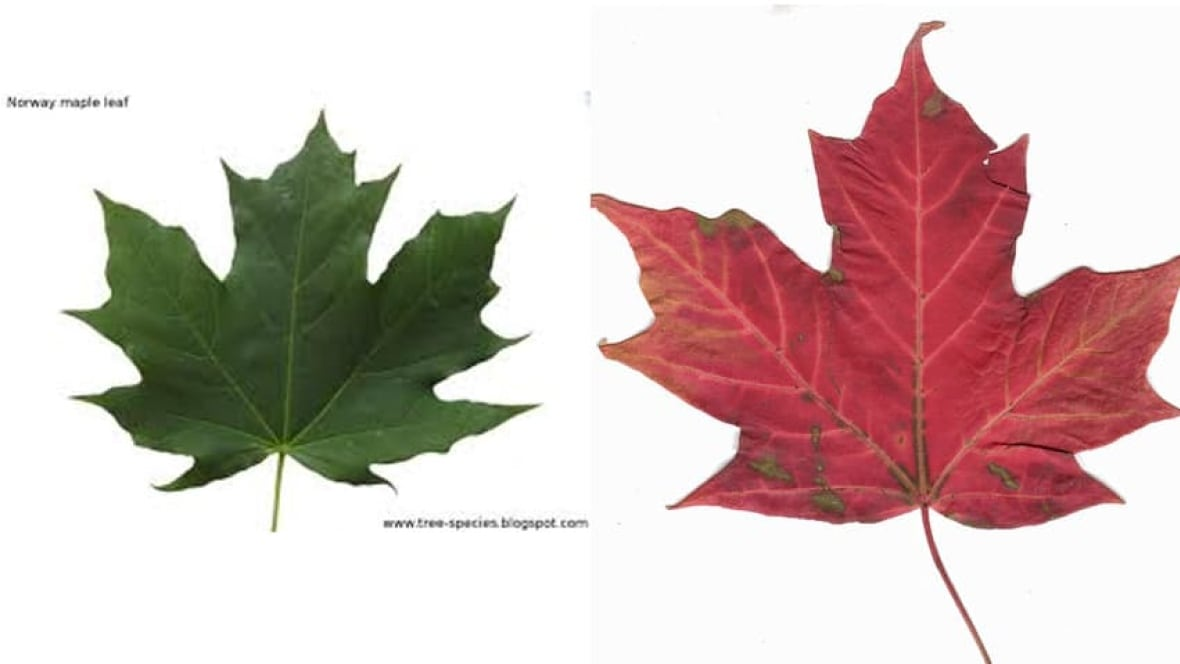 Canadas New Bill At Centre Of Maple Leaf Flap Ottawa CBC News - Norway maple vs sugar maple