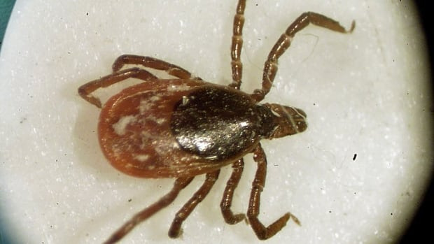 Blacklegged ticks, also known as deer ticks, can carry Lyme disease. Blacklegged ticks can be found in wooded areas and tall grass and often latch on to hikers and campers, with potentially serious health effects.