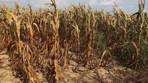 hi-corn-drought-rtr35a14-4col