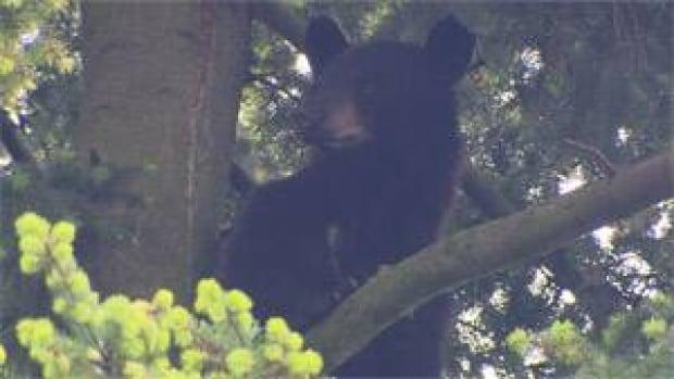 mi-bc-130525-black-bear-3