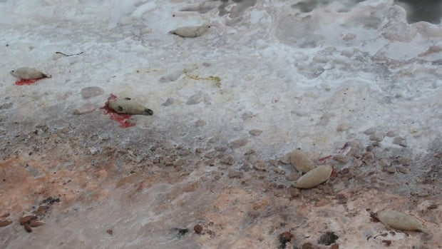 Many of the dead seals bludgeoned to death last weekend were pups.