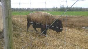 pe-hi-buffalo-land-4col