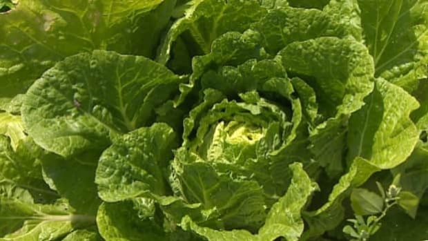 Exposure to leafy green vegetables such as lettuce, kale and spinach has emerged as a possible cause of the E. coli cases.