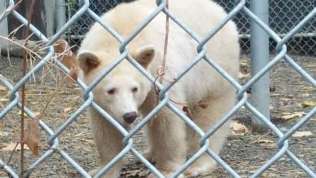 Clover the Kermode bear is back in captivity after escaping on his first night at his new home near Kamloops.
