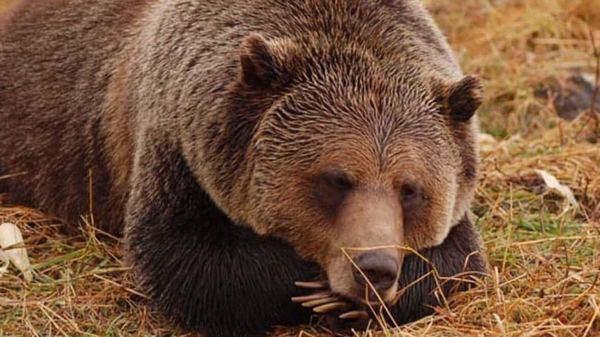 an analysis of the advance technology in grizzly bears Yellowstone grizzly bear investigations: annual report of the interagency grizzly bear study team, 2004 annual report edited by: charles c schwartz, mark a haroldson, and karrie k west.