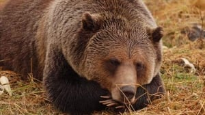 B.C. ministers to speak on grizzly bears following hunt consultation