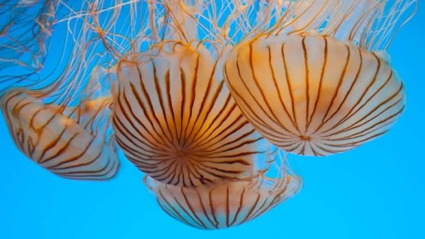 Japanese Sea Nettles at the Monterey Bay Aquarium in California in 2012. (File)