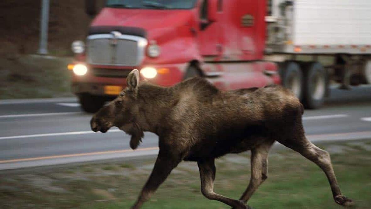Accidents Involving Animals On The Decline Sudbury Cbc
