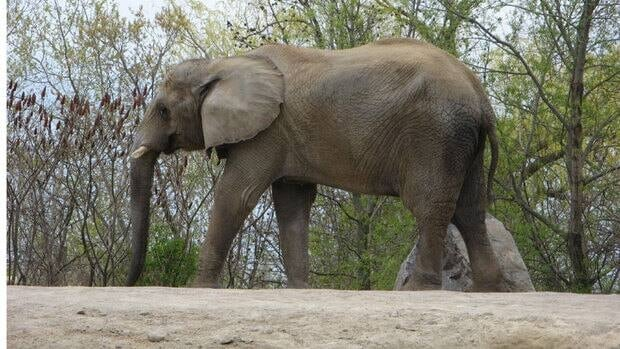 Thika, one of the Toronto Zoo's three elephants, walks around its enclosure on in 2011. Julie Woodyer of Zoocheck Canada says the elephants can't be moved to a U.S. sanctuary until late summer because of scheduling issues.