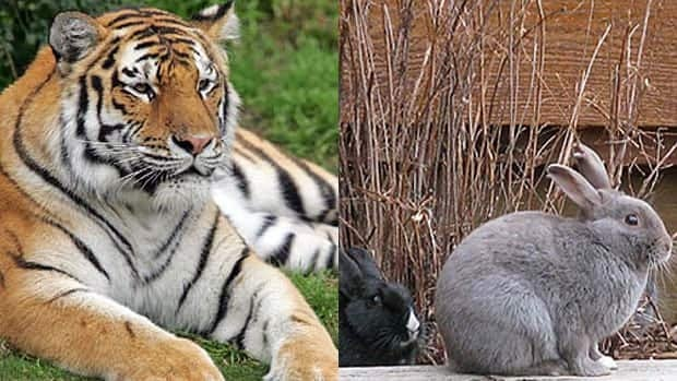 A Manitoba man used Siberian tiger poop to keep his garden free of nuisance rabbits.