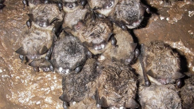 New Brunswick researchers say a potentially lethal disease known as white-nose syndrome has moved into the N.B. bat population.