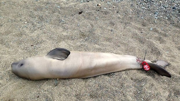 Beluga deaths in St. Lawrence worry whale researchers