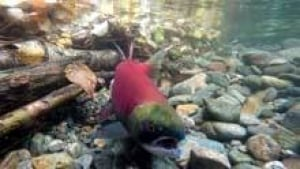 mi-bc-120925-cp-sockeye-salmon