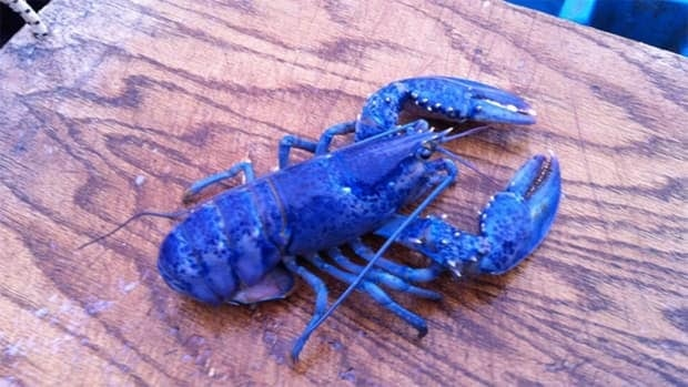 The blue colouration is caused by a genetic defect that causes the lobster to produce an excessive amount of a particular protein that gives the lobster the unique colour.
