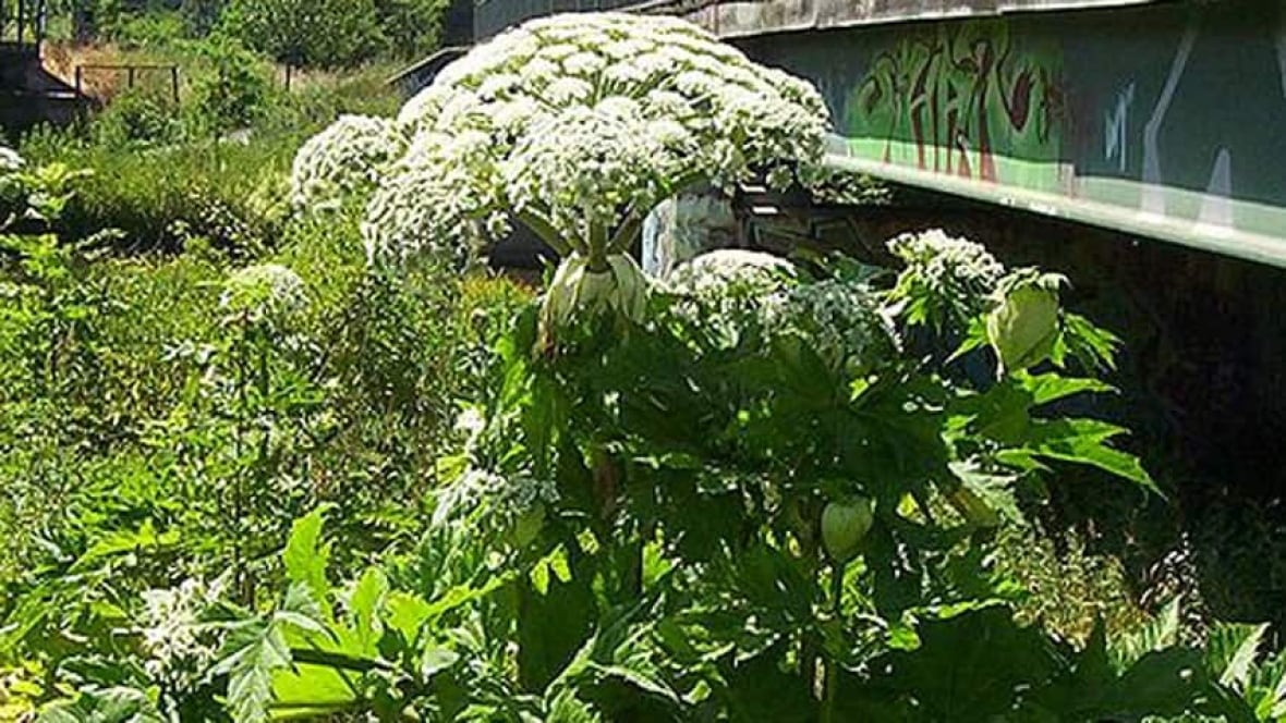 Giant Hogweed Back In Waterloo Region How You Can Get Rid Of It