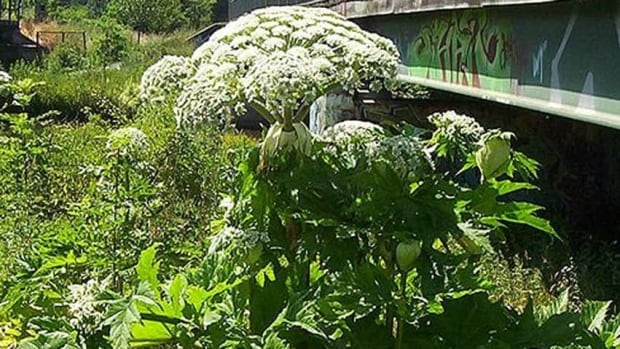 Hogweed has a toxic sap that can cause third-degree burns when exposed to sunlight and even blindness if it gets in the eyes.