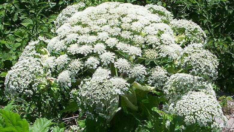 Giant Hogweed Michigan Map.5 Things To Know About Giant Hogweed Cbc News