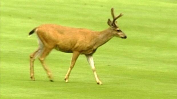hi-bc-130626-oak-bay-deer-golf