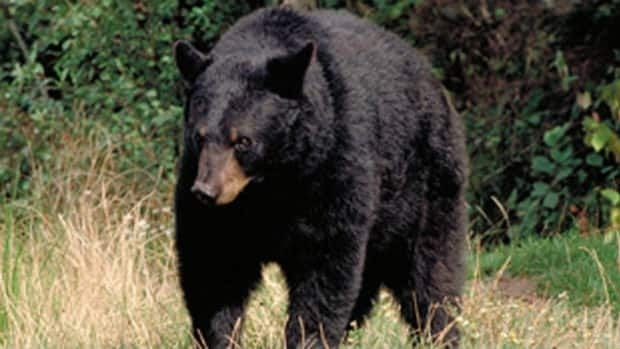A black bear was the fifth bear destroyed in Fernie, B.C. in just three weeks.