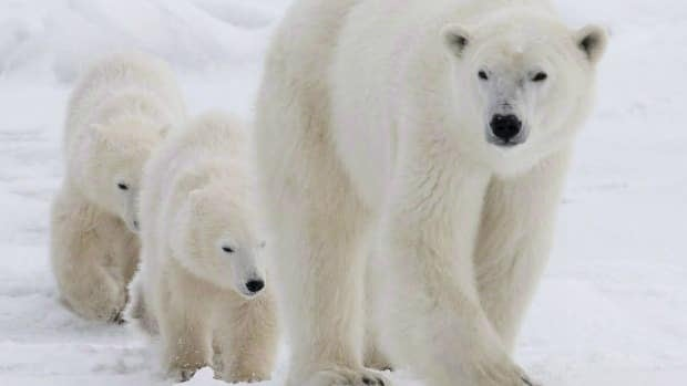Several countries including the U.S., Russia and the U.K. indicate they may support a proposed ban on cross-border trade in parts of the animals - including polar bears.