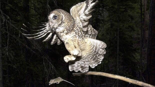 A northern spotted owl flies after a mouse in the Deschutes National Forest in this 2003 file photo.
