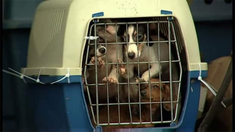 125 Dogs Seized From Quebec Breeding Operation Cbc News