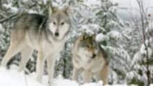 si-bc-120130-wolves-snow-kill