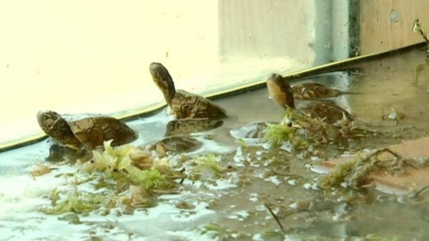 These endangered Blanding's turtles are thriving at a zoo in Nova Scotia.