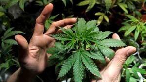 si-marijuana-leaf-04801570