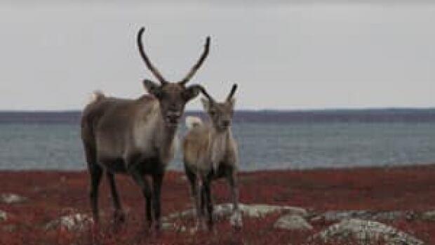mi-caribou-barrenground