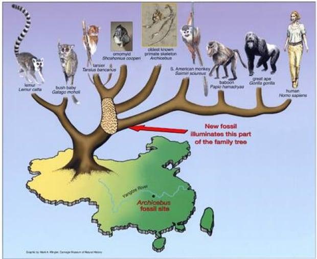 fi-460-archicebus_evolutionary_tree
