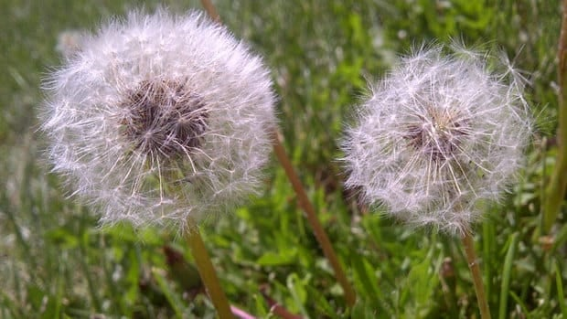 Maureen Kerr wants to see more stringent rules in the fight against dandelions.