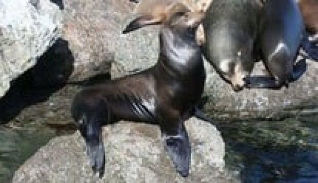 hi-bc-130121-sea-lion-wikimedia-3col